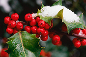 Holly Berry winter